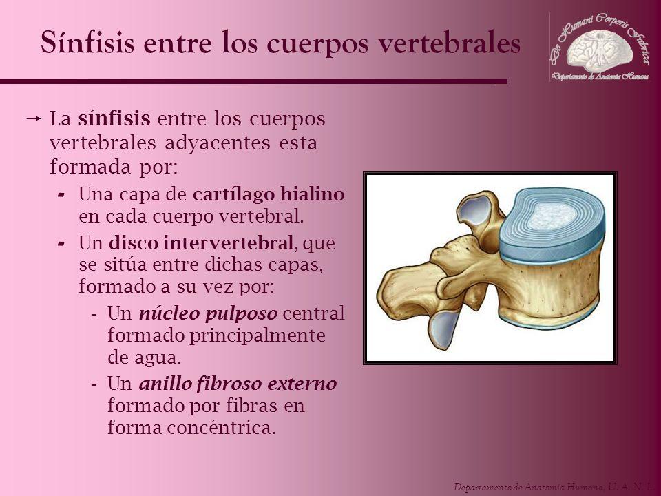 Departamento de Anatomía Humana, U. A. N. L. Sínfisis entre los cuerpos vertebrales La sínfisis entre los cuerpos vertebrales adyacentes esta formada