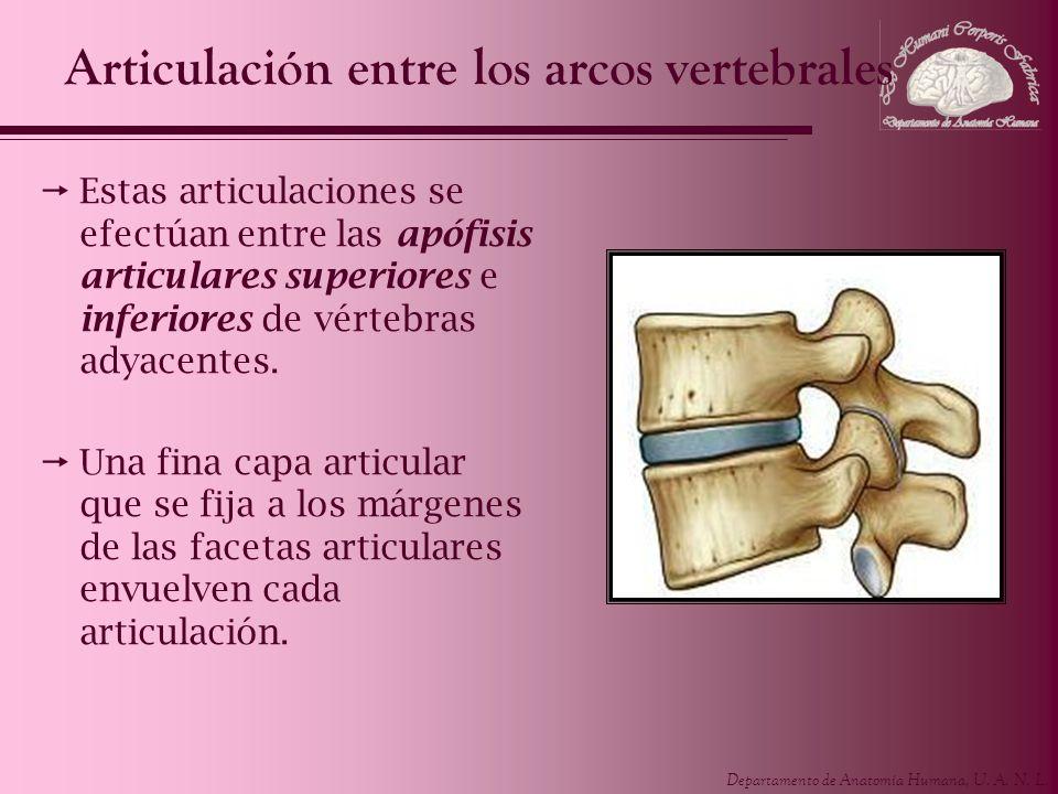 Departamento de Anatomía Humana, U. A. N. L. Articulación entre los arcos vertebrales Estas articulaciones se efectúan entre las apófisis articulares