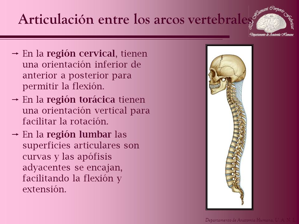 Departamento de Anatomía Humana, U. A. N. L. Articulación entre los arcos vertebrales En la región cervical, tienen una orientación inferior de anteri