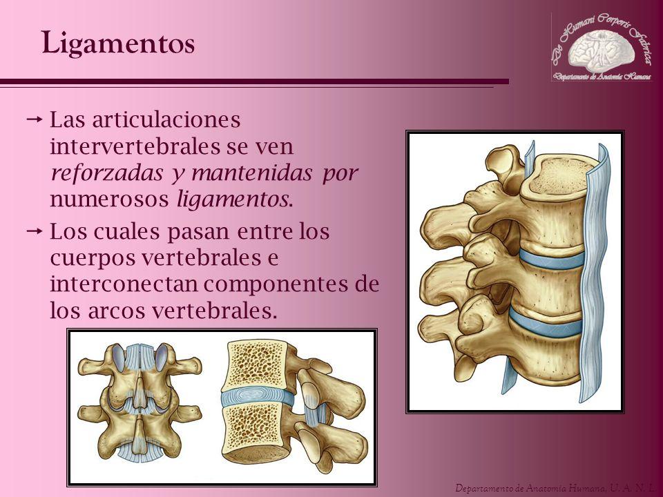 Departamento de Anatomía Humana, U. A. N. L. Ligamentos Las articulaciones intervertebrales se ven reforzadas y mantenidas por numerosos ligamentos. L