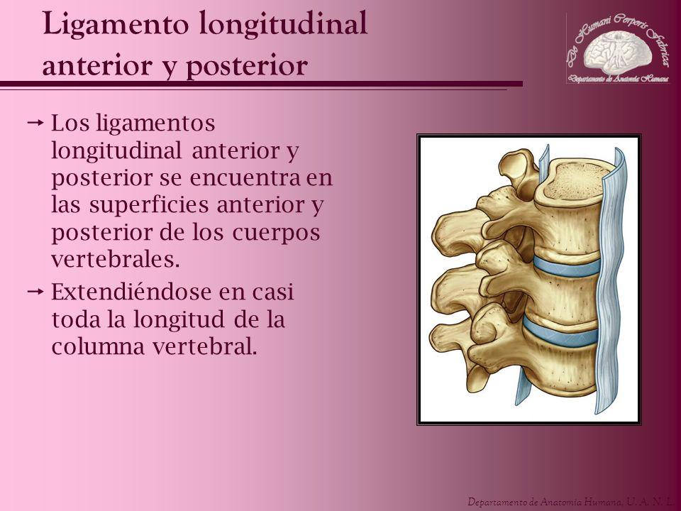 Departamento de Anatomía Humana, U. A. N. L. Ligamento longitudinal anterior y posterior Los ligamentos longitudinal anterior y posterior se encuentra