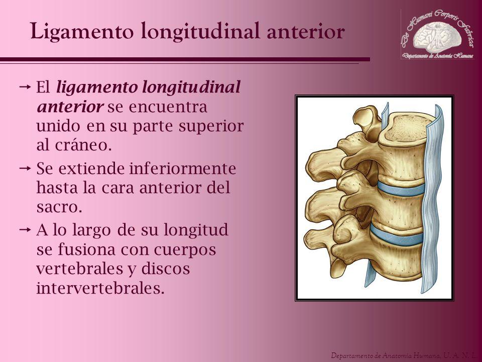 Departamento de Anatomía Humana, U. A. N. L. Ligamento longitudinal anterior El ligamento longitudinal anterior se encuentra unido en su parte superio