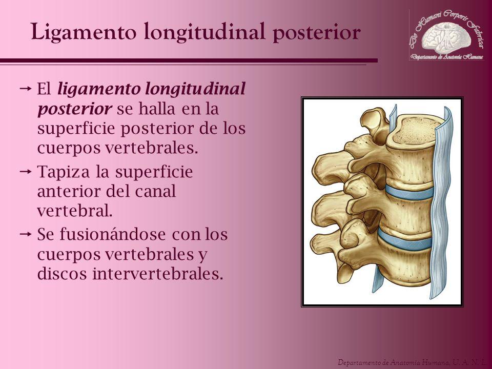 Departamento de Anatomía Humana, U. A. N. L. Ligamento longitudinal posterior El ligamento longitudinal posterior se halla en la superficie posterior