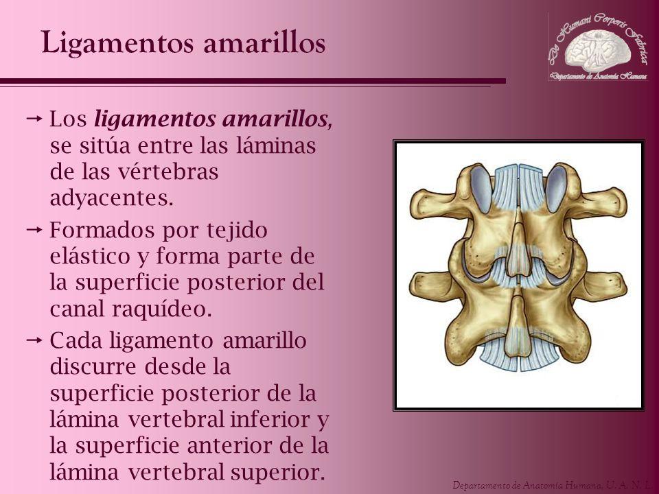 Departamento de Anatomía Humana, U. A. N. L. Ligamentos amarillos Los ligamentos amarillos, se sitúa entre las láminas de las vértebras adyacentes. Fo