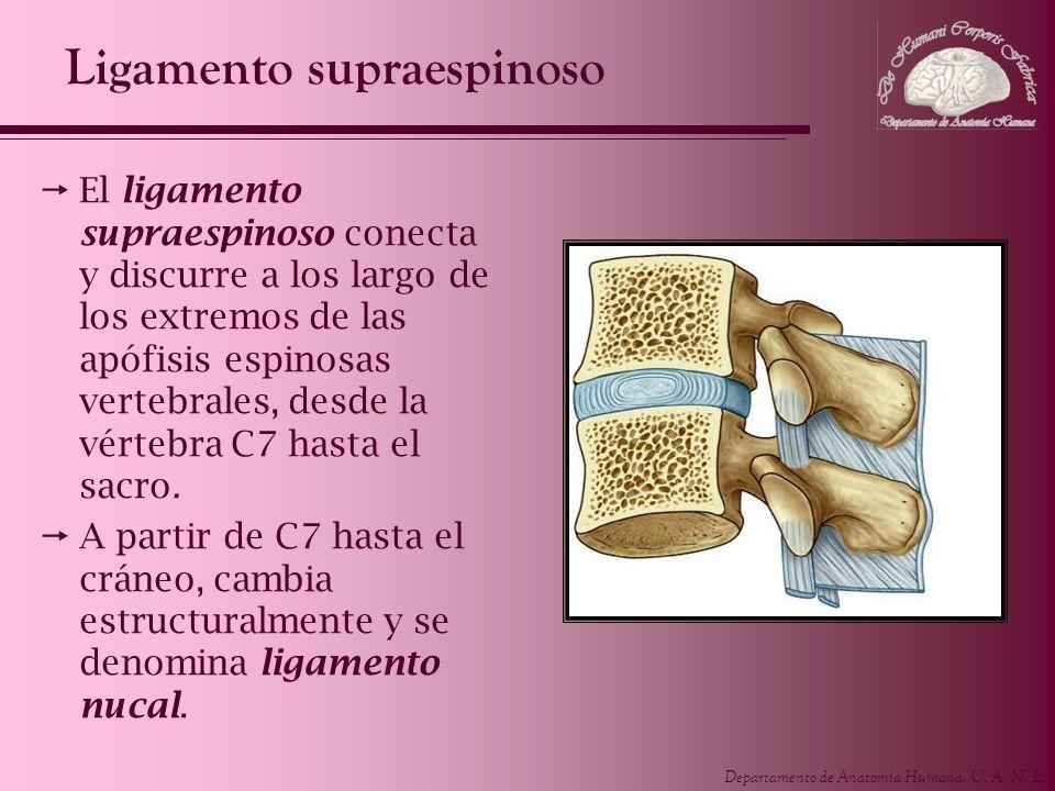 Departamento de Anatomía Humana, U. A. N. L. Ligamento supraespinoso El ligamento supraespinoso conecta y discurre a los largo de los extremos de las