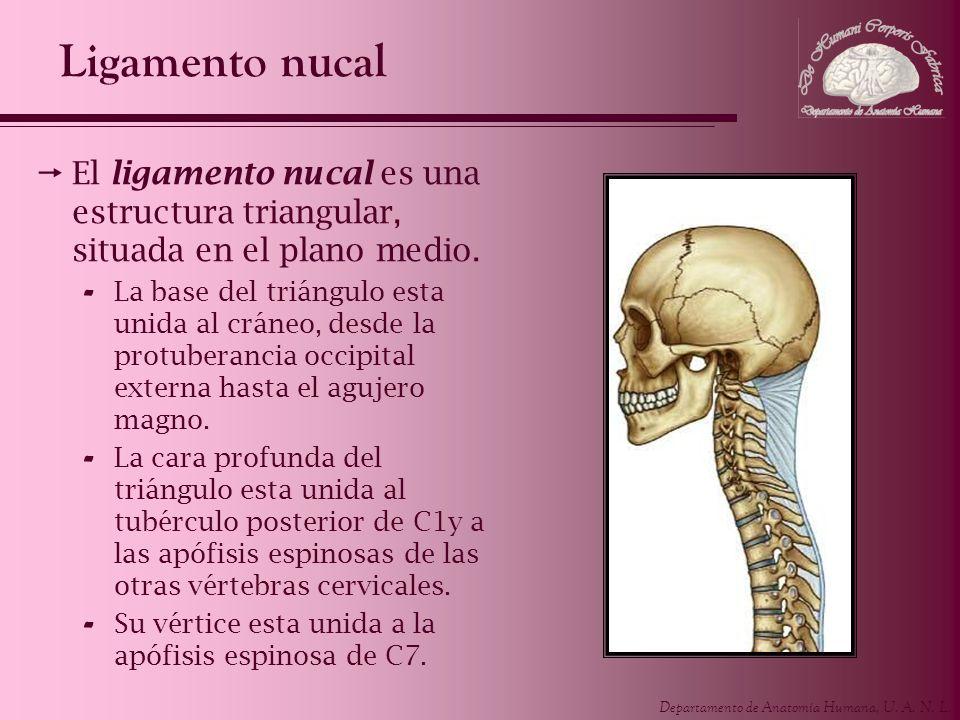 Departamento de Anatomía Humana, U. A. N. L. Ligamento nucal El ligamento nucal es una estructura triangular, situada en el plano medio. - La base del