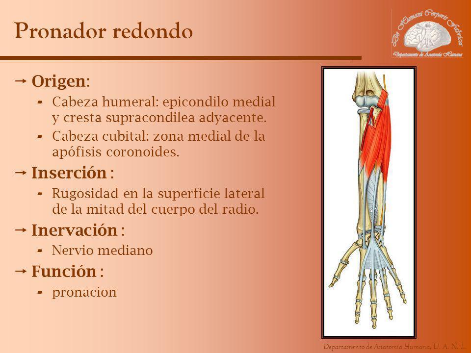 Departamento de Anatomía Humana, U. A. N. L. Pronador redondo Origen: - Cabeza humeral: epicondilo medial y cresta supracondilea adyacente. - Cabeza c