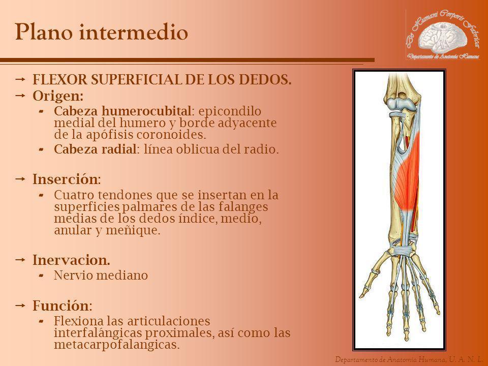 Departamento de Anatomía Humana, U. A. N. L. Plano intermedio FLEXOR SUPERFICIAL DE LOS DEDOS. Origen: - Cabeza humerocubital: epicondilo medial del h