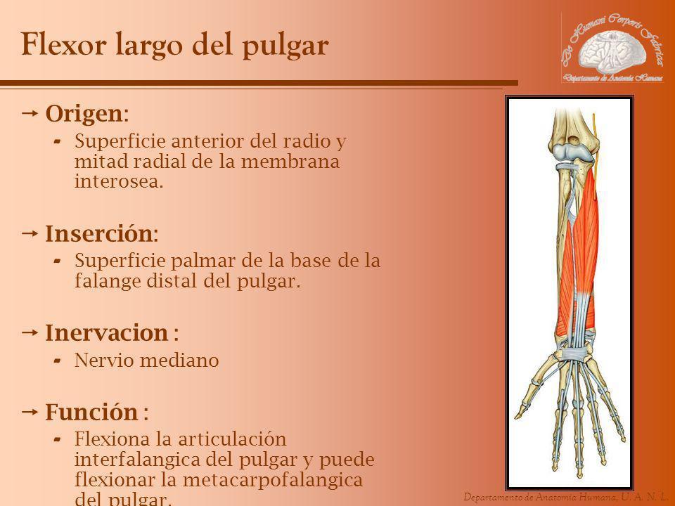Departamento de Anatomía Humana, U. A. N. L. Flexor largo del pulgar Origen: - Superficie anterior del radio y mitad radial de la membrana interosea.