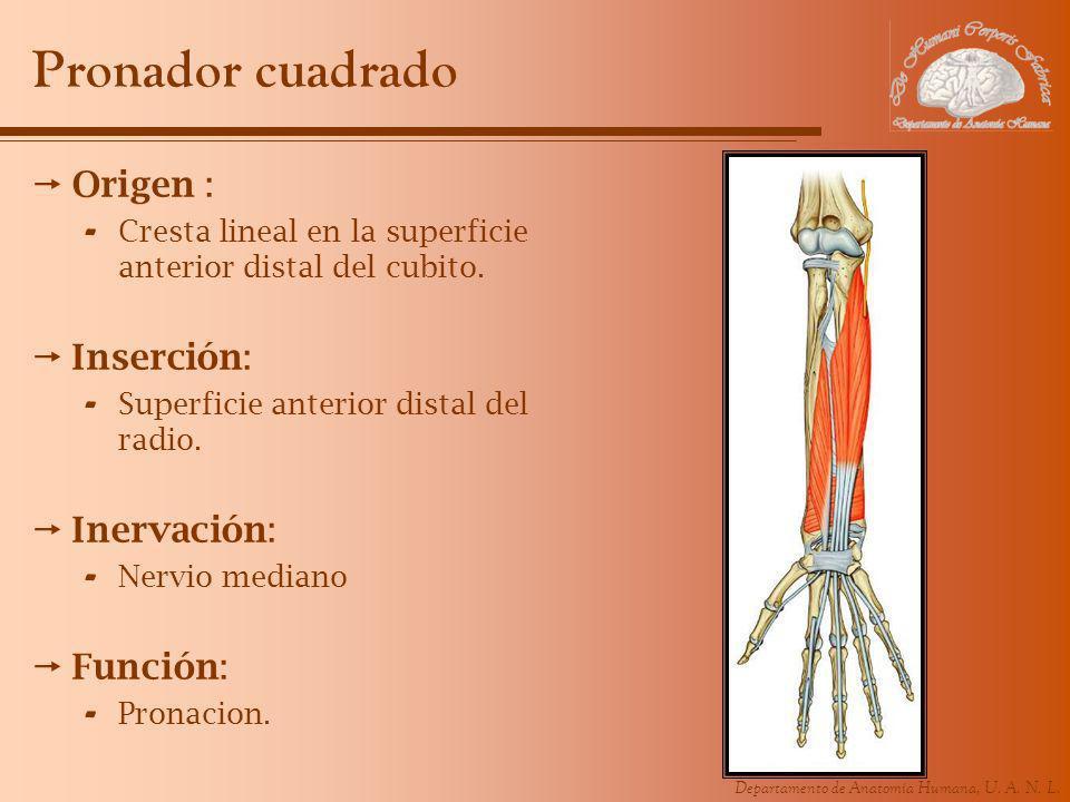 Departamento de Anatomía Humana, U. A. N. L. Pronador cuadrado Origen : - Cresta lineal en la superficie anterior distal del cubito. Inserción: - Supe