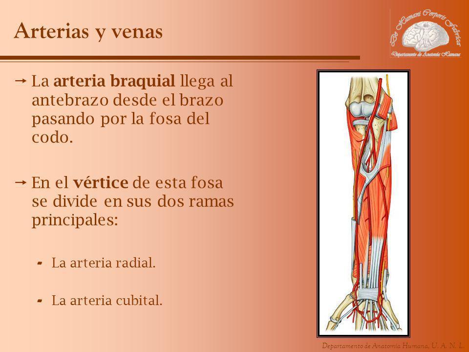 Departamento de Anatomía Humana, U. A. N. L. Arterias y venas La arteria braquial llega al antebrazo desde el brazo pasando por la fosa del codo. En e
