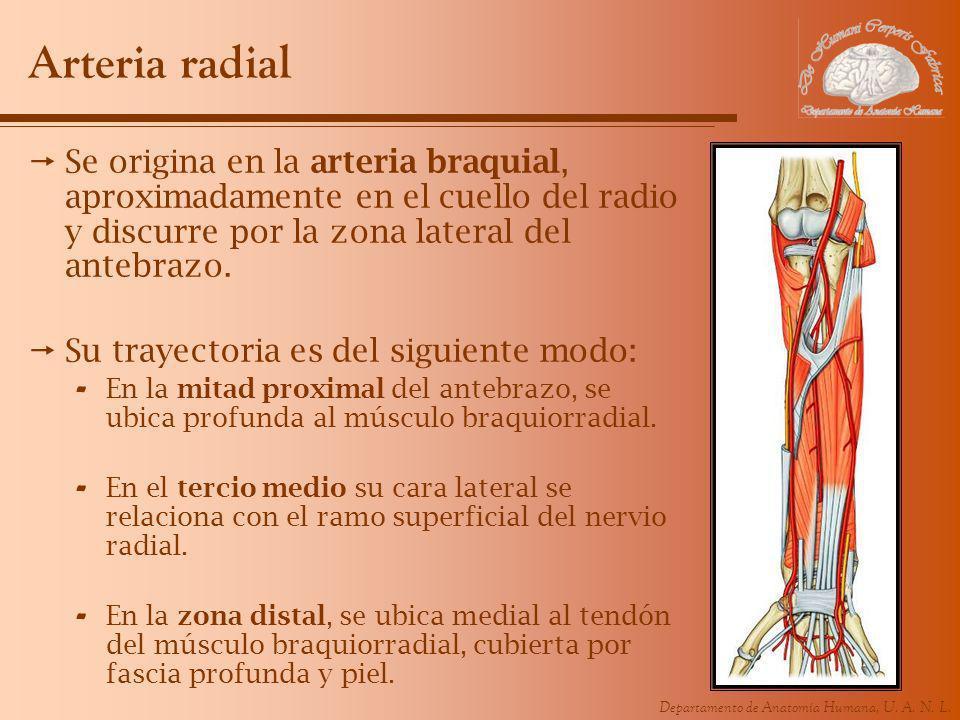 Departamento de Anatomía Humana, U. A. N. L. Arteria radial Se origina en la arteria braquial, aproximadamente en el cuello del radio y discurre por l
