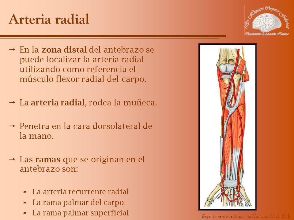 Departamento de Anatomía Humana, U. A. N. L. Arteria radial En la zona distal del antebrazo se puede localizar la arteria radial utilizando como refer