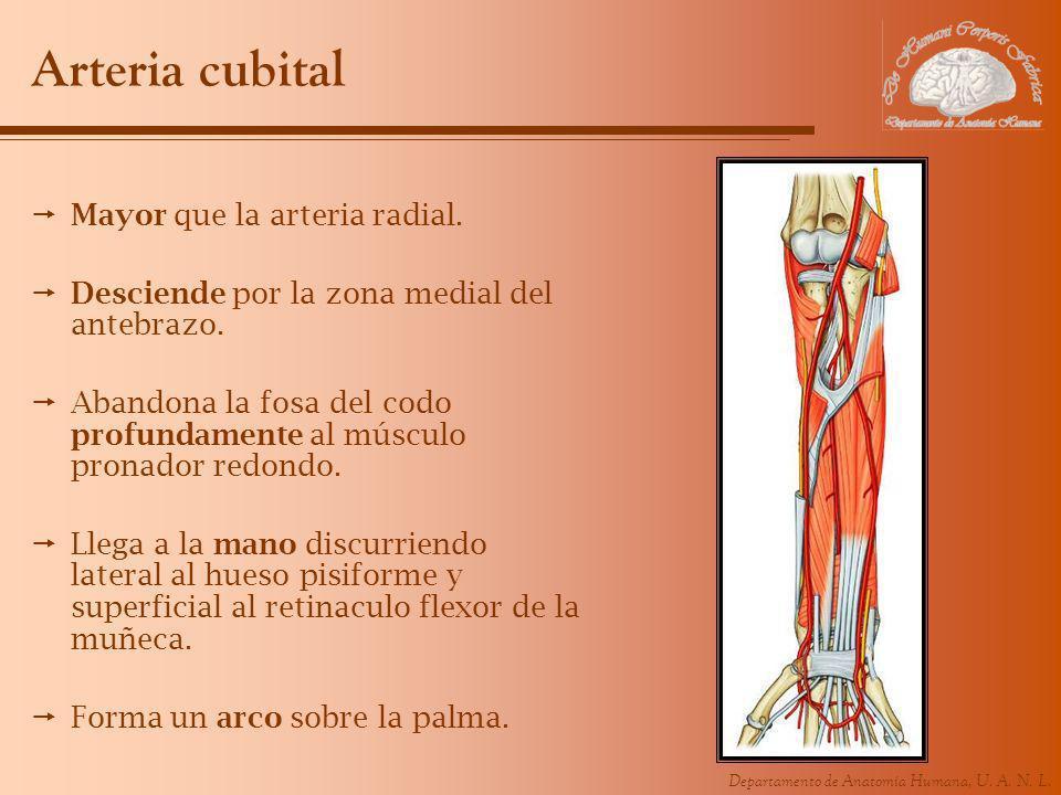 Departamento de Anatomía Humana, U. A. N. L. Arteria cubital Mayor que la arteria radial. Desciende por la zona medial del antebrazo. Abandona la fosa