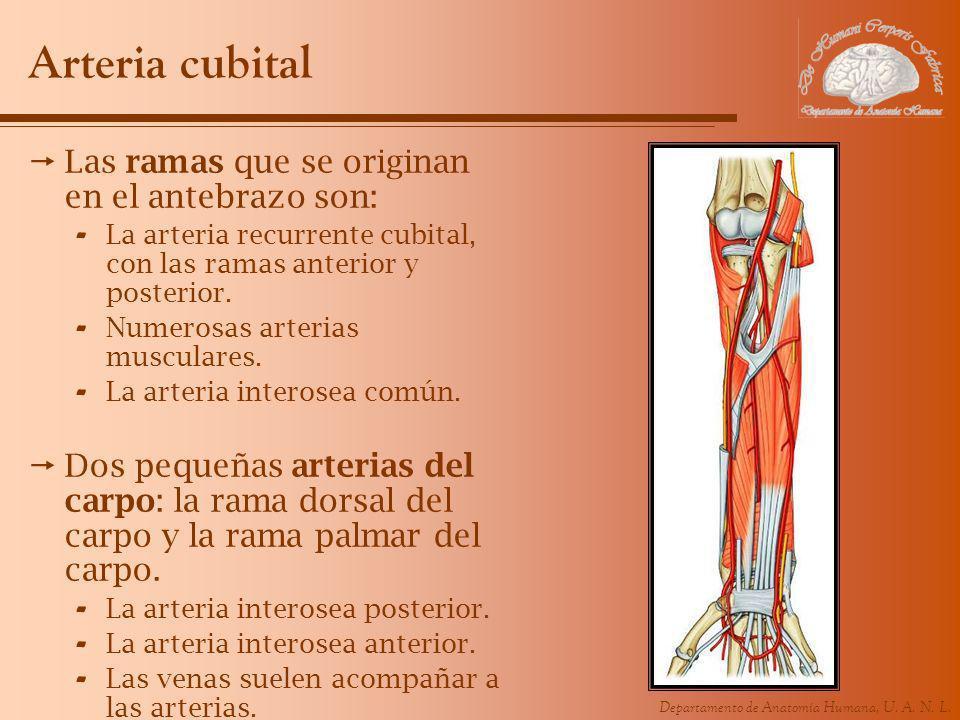 Departamento de Anatomía Humana, U. A. N. L. Arteria cubital Las ramas que se originan en el antebrazo son: - La arteria recurrente cubital, con las r