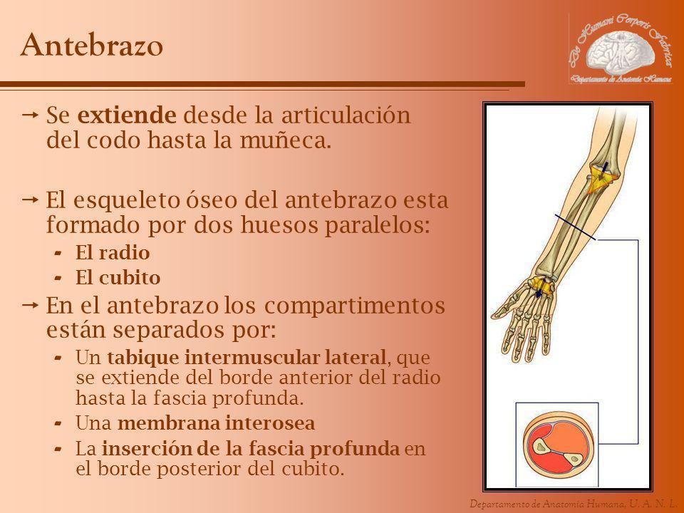 Departamento de Anatomía Humana, U. A. N. L. Antebrazo Se extiende desde la articulación del codo hasta la muñeca. El esqueleto óseo del antebrazo est