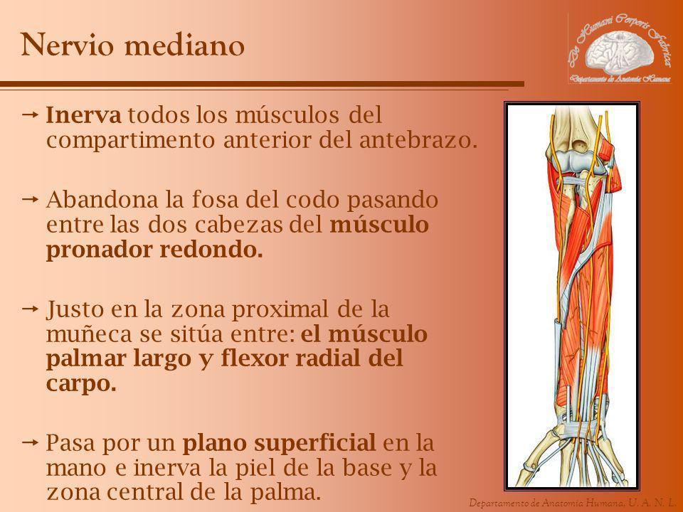 Departamento de Anatomía Humana, U. A. N. L. Nervio mediano Inerva todos los músculos del compartimento anterior del antebrazo. Abandona la fosa del c