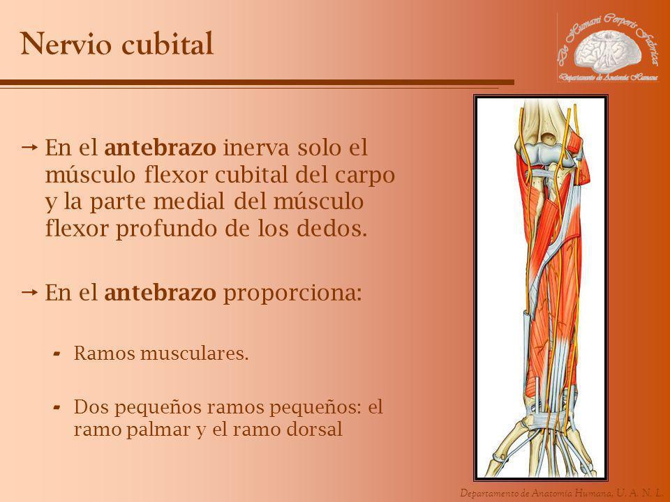Departamento de Anatomía Humana, U. A. N. L. Nervio cubital En el antebrazo inerva solo el músculo flexor cubital del carpo y la parte medial del músc