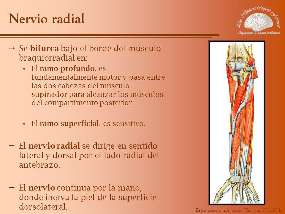 Departamento de Anatomía Humana, U. A. N. L. Nervio radial Se bifurca bajo el borde del músculo braquiorradial en: - El ramo profundo, es fundamentalm