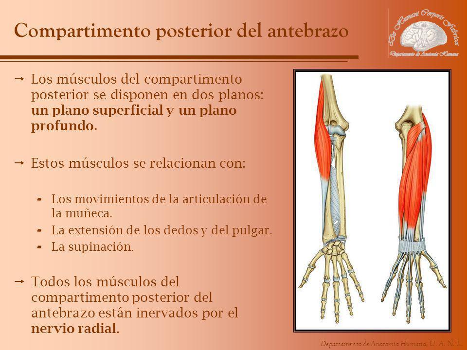 Departamento de Anatomía Humana, U. A. N. L. Compartimento posterior del antebrazo Los músculos del compartimento posterior se disponen en dos planos: