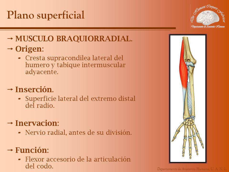 Departamento de Anatomía Humana, U. A. N. L. Plano superficial MUSCULO BRAQUIORRADIAL. Origen: - Cresta supracondilea lateral del humero y tabique int