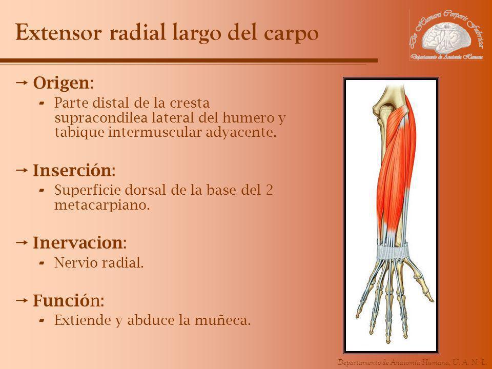 Departamento de Anatomía Humana, U. A. N. L. Extensor radial largo del carpo Origen: - Parte distal de la cresta supracondilea lateral del humero y ta