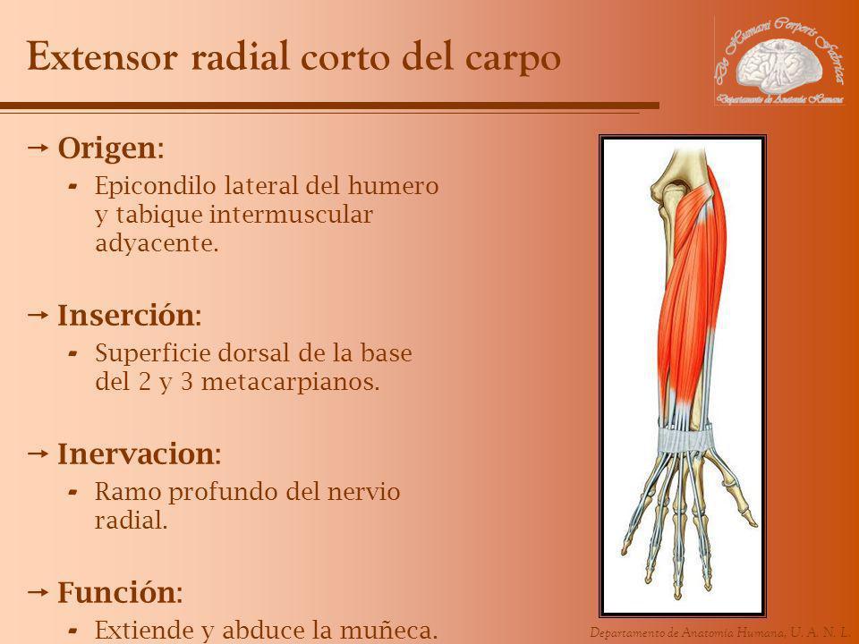 Departamento de Anatomía Humana, U. A. N. L. Extensor radial corto del carpo Origen: - Epicondilo lateral del humero y tabique intermuscular adyacente