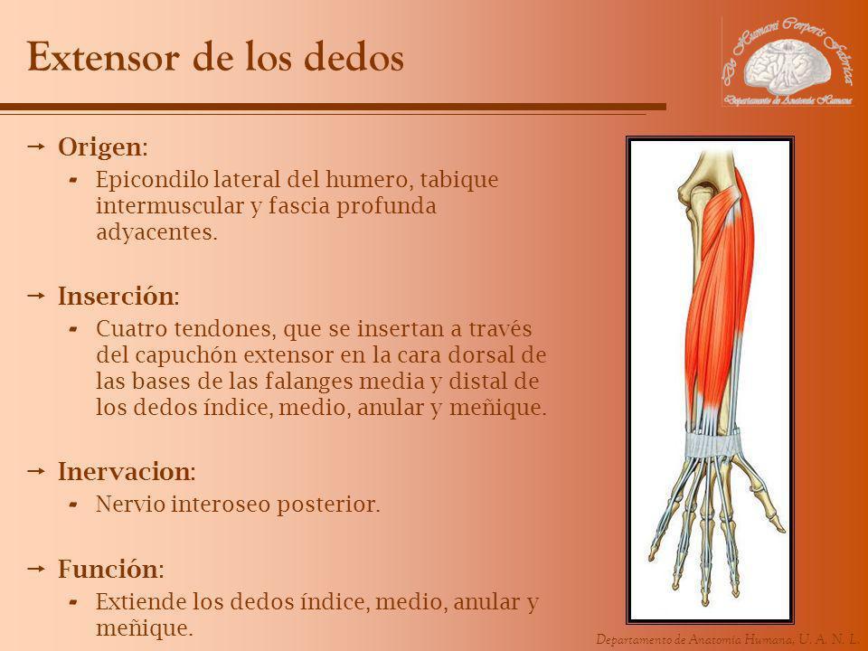 Departamento de Anatomía Humana, U. A. N. L. Extensor de los dedos Origen: - Epicondilo lateral del humero, tabique intermuscular y fascia profunda ad