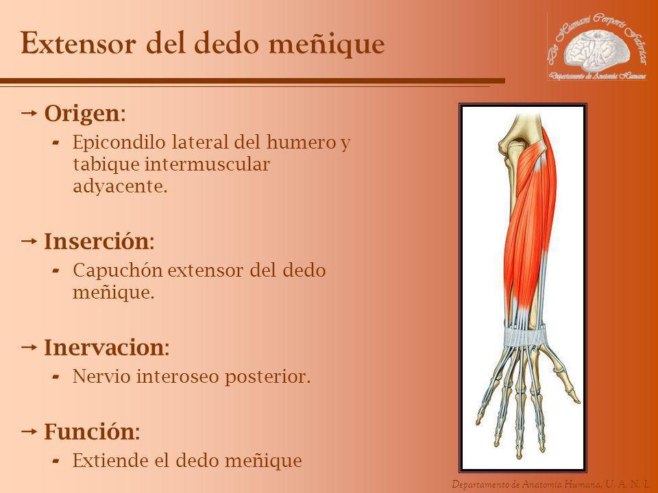 Departamento de Anatomía Humana, U. A. N. L. Extensor del dedo meñique Origen: - Epicondilo lateral del humero y tabique intermuscular adyacente. Inse