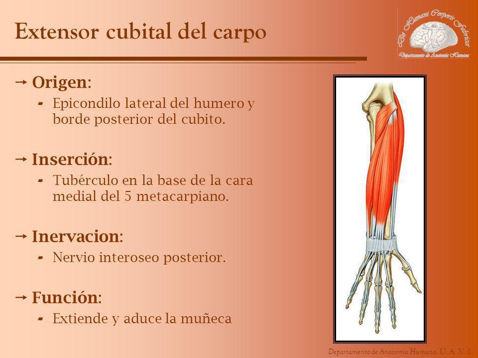 Departamento de Anatomía Humana, U. A. N. L. Extensor cubital del carpo Origen: - Epicondilo lateral del humero y borde posterior del cubito. Inserció