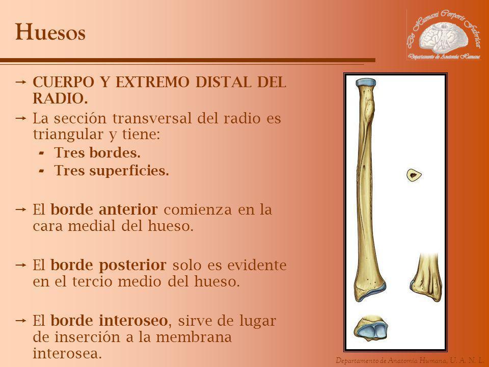 Departamento de Anatomía Humana, U. A. N. L. Huesos CUERPO Y EXTREMO DISTAL DEL RADIO. La sección transversal del radio es triangular y tiene: - Tres