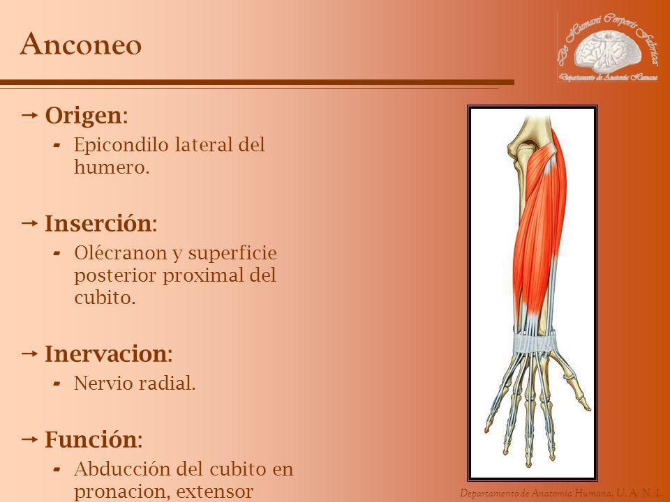 Departamento de Anatomía Humana, U. A. N. L. Anconeo Origen: - Epicondilo lateral del humero. Inserción: - Olécranon y superficie posterior proximal d