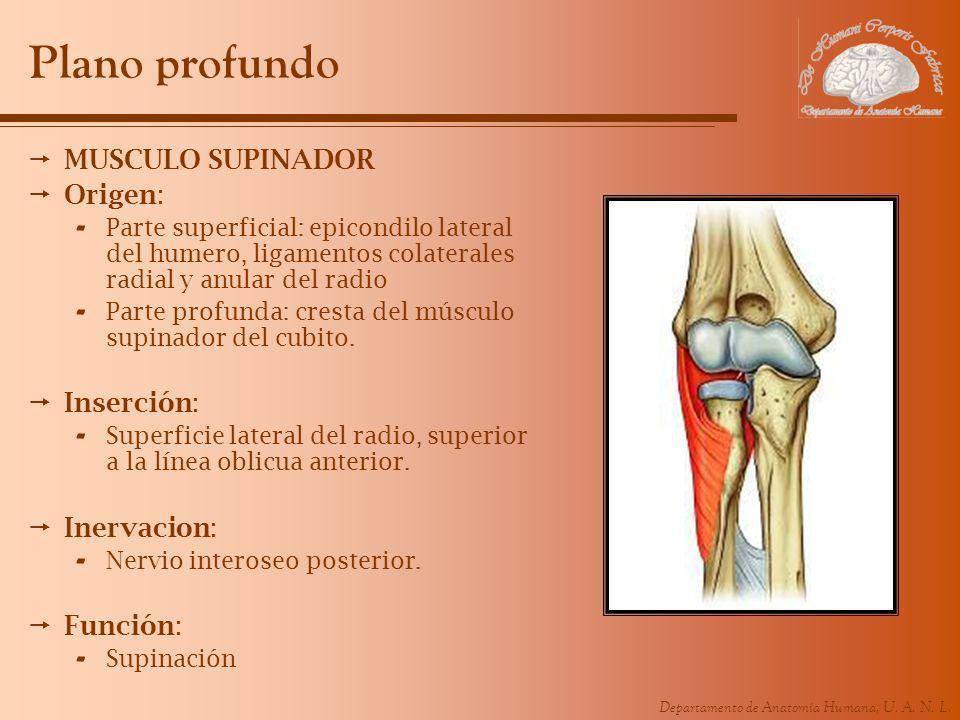 Departamento de Anatomía Humana, U. A. N. L. Plano profundo MUSCULO SUPINADOR Origen: - Parte superficial: epicondilo lateral del humero, ligamentos c