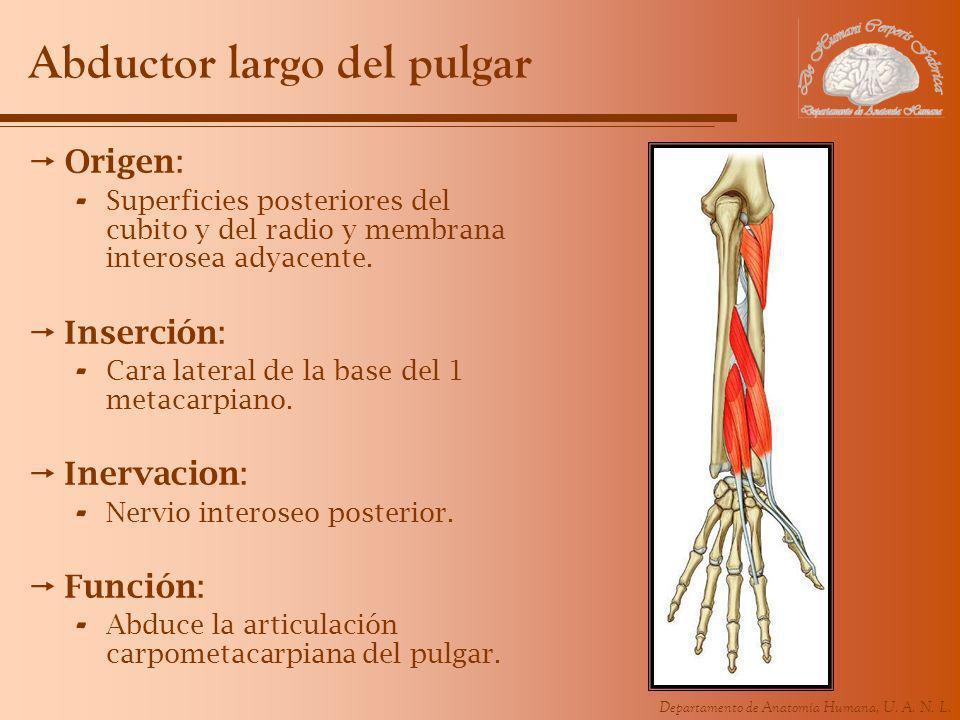 Departamento de Anatomía Humana, U. A. N. L. Abductor largo del pulgar Origen: - Superficies posteriores del cubito y del radio y membrana interosea a