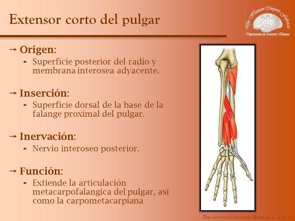 Departamento de Anatomía Humana, U. A. N. L. Extensor corto del pulgar Origen: - Superficie posterior del radio y membrana interosea adyacente. Inserc