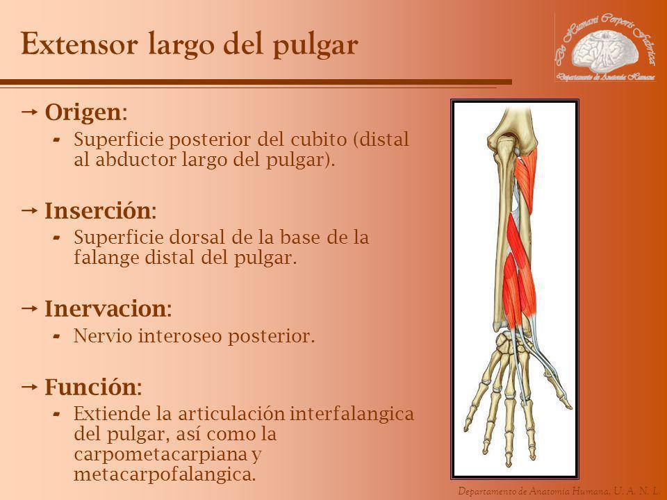 Departamento de Anatomía Humana, U. A. N. L. Extensor largo del pulgar Origen: - Superficie posterior del cubito (distal al abductor largo del pulgar)