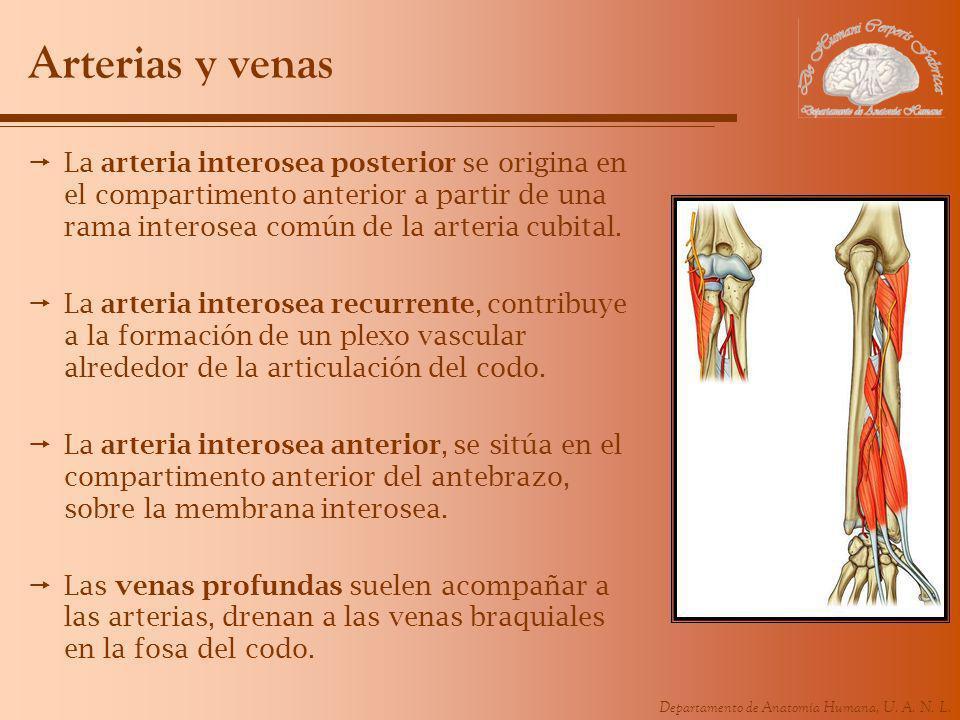 Departamento de Anatomía Humana, U. A. N. L. Arterias y venas La arteria interosea posterior se origina en el compartimento anterior a partir de una r