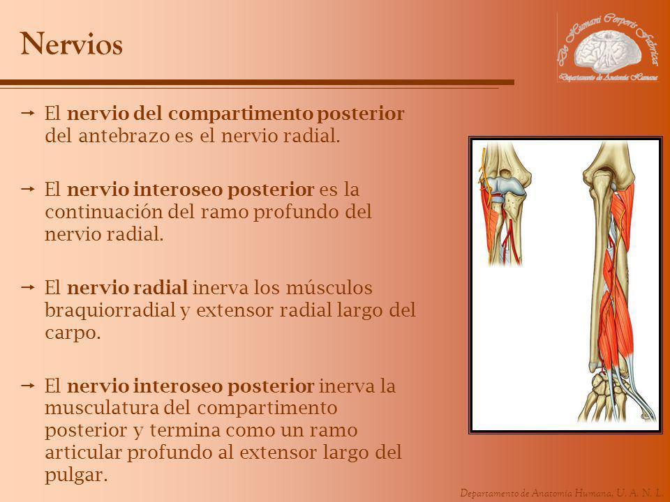 Departamento de Anatomía Humana, U. A. N. L. Nervios El nervio del compartimento posterior del antebrazo es el nervio radial. El nervio interoseo post