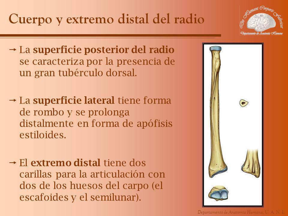Departamento de Anatomía Humana, U. A. N. L. Cuerpo y extremo distal del radio La superficie posterior del radio se caracteriza por la presencia de un