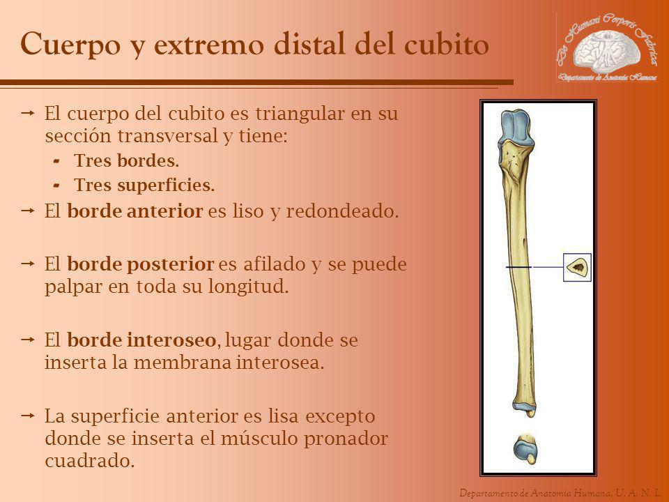 Departamento de Anatomía Humana, U. A. N. L. Cuerpo y extremo distal del cubito El cuerpo del cubito es triangular en su sección transversal y tiene:
