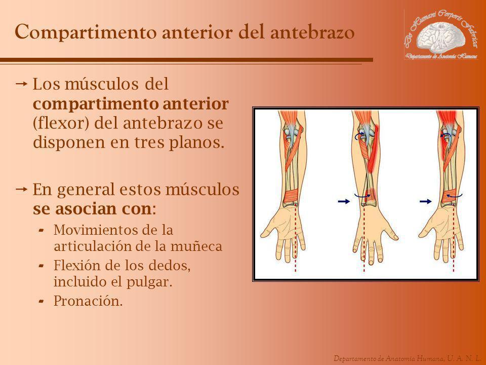 Departamento de Anatomía Humana, U. A. N. L. Compartimento anterior del antebrazo Los músculos del compartimento anterior (flexor) del antebrazo se di