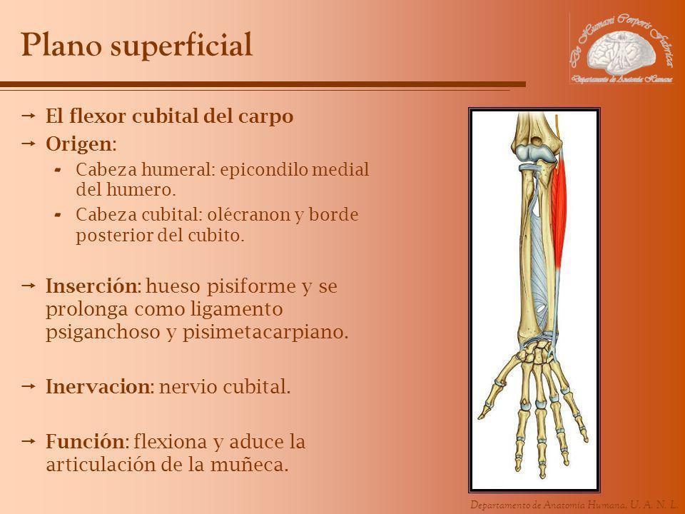 Departamento de Anatomía Humana, U. A. N. L. Plano superficial El flexor cubital del carpo Origen: - Cabeza humeral: epicondilo medial del humero. - C