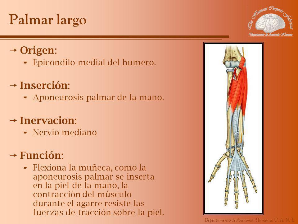 Departamento de Anatomía Humana, U. A. N. L. Palmar largo Origen: - Epicondilo medial del humero. Inserción: - Aponeurosis palmar de la mano. Inervaci