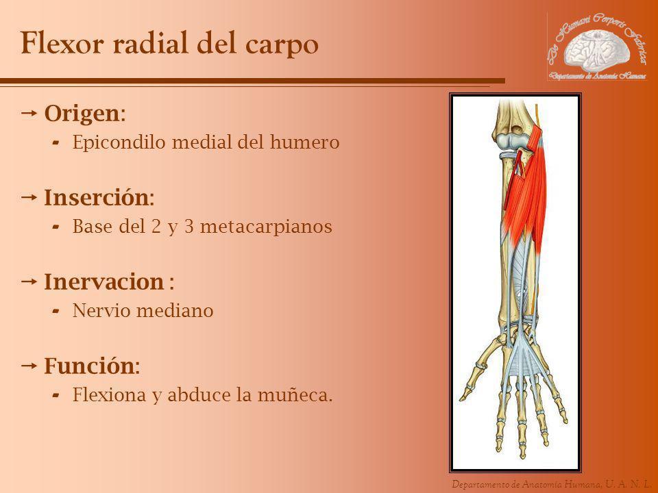 Departamento de Anatomía Humana, U. A. N. L. Flexor radial del carpo Origen: - Epicondilo medial del humero Inserción: - Base del 2 y 3 metacarpianos