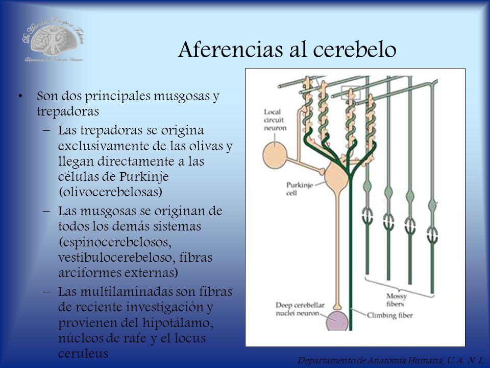 Departamento de Anatomía Humana, U. A. N. L. Aferencias al cerebelo Son dos principales musgosas y trepadoras –Las trepadoras se origina exclusivament
