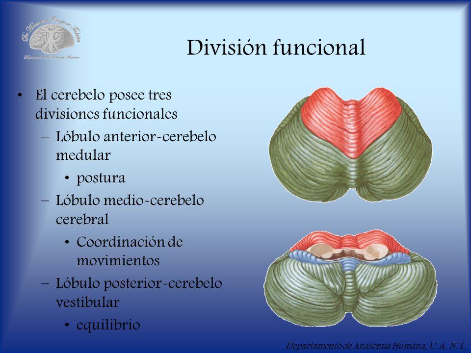 Departamento de Anatomía Humana, U. A. N. L. División funcional El cerebelo posee tres divisiones funcionales –Lóbulo anterior-cerebelo medular postur