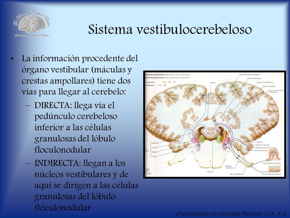 Departamento de Anatomía Humana, U. A. N. L. Sistema vestibulocerebeloso La información procedente del órgano vestibular (máculas y crestas ampollares