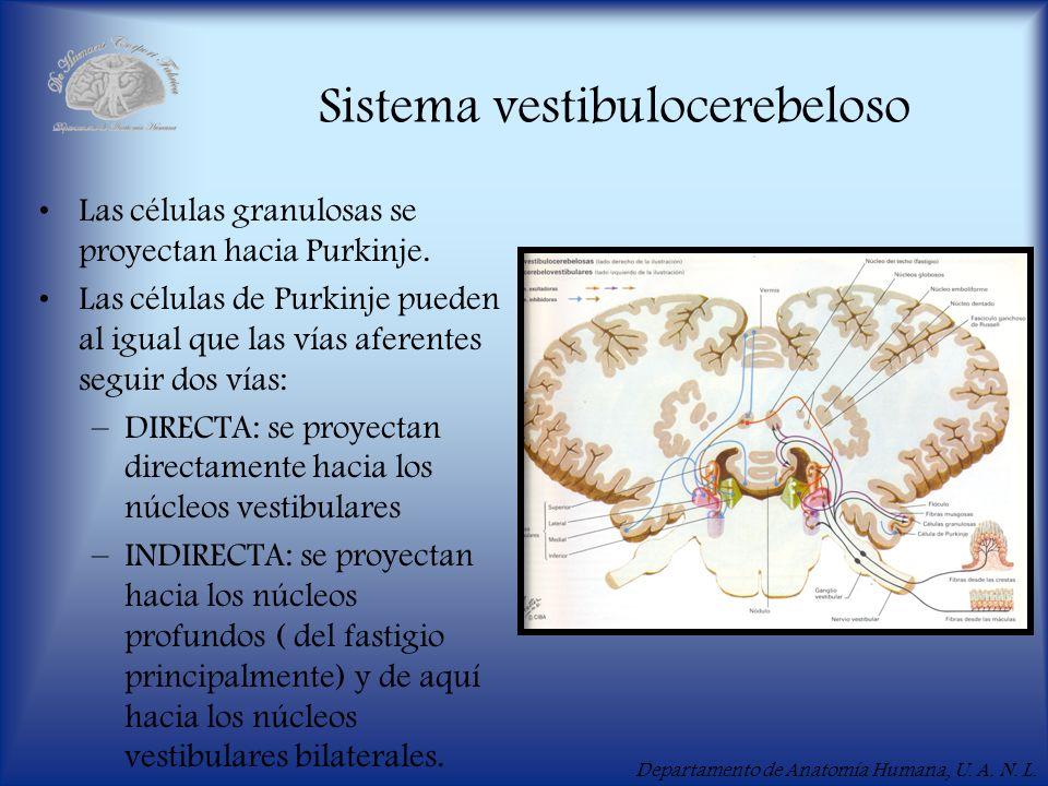 Departamento de Anatomía Humana, U. A. N. L. Sistema vestibulocerebeloso Las células granulosas se proyectan hacia Purkinje. Las células de Purkinje p
