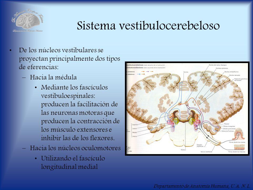 Departamento de Anatomía Humana, U. A. N. L. Sistema vestibulocerebeloso De los núcleos vestibulares se proyectan principalmente dos tipos de eferenci