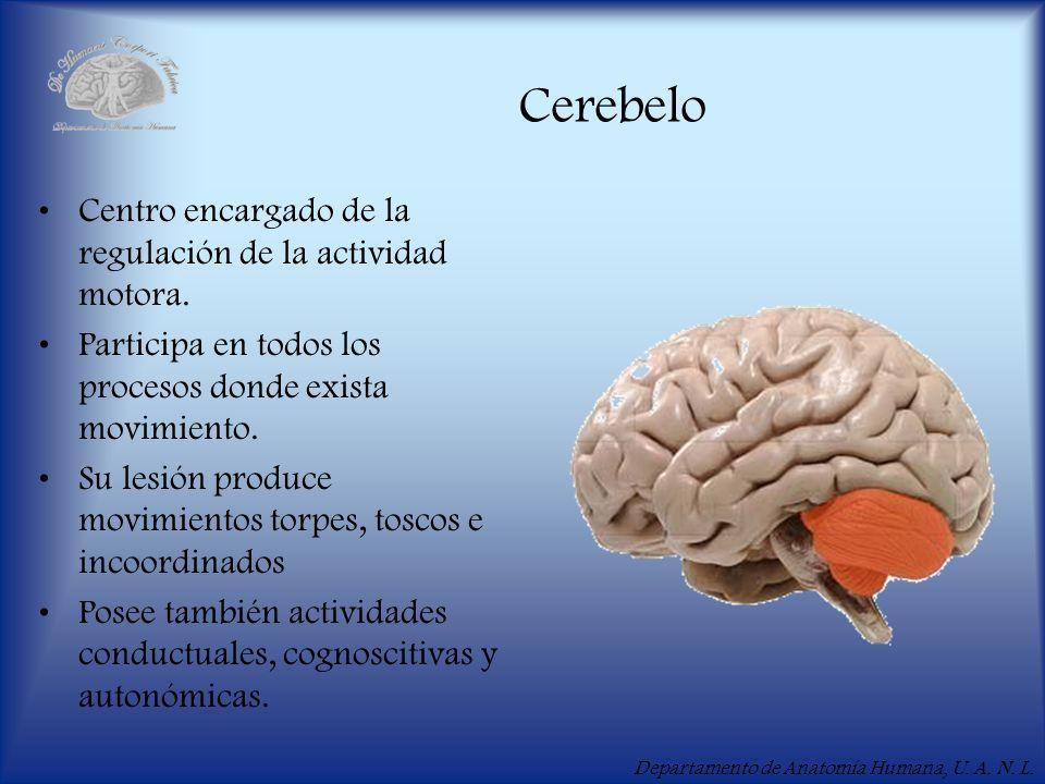 Departamento de Anatomía Humana, U. A. N. L. Cerebelo Centro encargado de la regulación de la actividad motora. Participa en todos los procesos donde